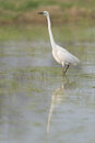 Great white egret in a lake Royalty Free Stock Image