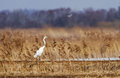 Great white egret a is landed on the dam in kapliai fish ponds lithuania Royalty Free Stock Image