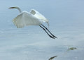 Great white egret launching into flight at Fort De Soto State Park. Royalty Free Stock Photo