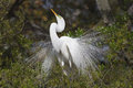 Great white egret male mating plumage showing Stock Image