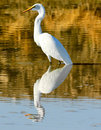 Great White Egret Portrait Royalty Free Stock Photography