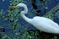 Great white egret standing in a cypress swamp in Florida. Royalty Free Stock Photo