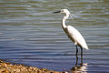 Great white egret standing in the lake Royalty Free Stock Photos