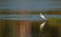 Great white egret at sunset a was fishing the query and the light was very nice just wish to be closer Stock Image