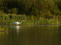 Great white egret at sunset a was fishing the query and the light was very nice just wish to be closer Royalty Free Stock Image