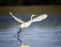 Great white egret taking flight in Florida Royalty Free Stock Photo