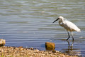 Great white egret walking in the lake Stock Photos