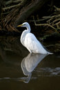 Great white egret walking through water with reflection Royalty Free Stock Images