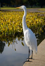 Great White Heron Royalty Free Stock Photos