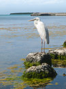 Great white heron overlooking water looking out over florida bay at the florida keys wild bird rehabilitation center Royalty Free Stock Images