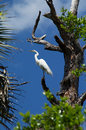 Great white heron perched high in tree the egret ardea alba also known as common egret large egret or is shown here up on the Royalty Free Stock Photos