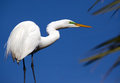 Great white heron poses in profile with green breeding stripe and brilliant blue sky behind Royalty Free Stock Photo