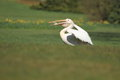 Great white pelican with a food in his bill Stock Image