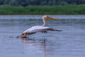 Great white pelican, Pelecanus onocrotalus Stock Images