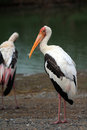 Great White Pelican (Pelecanus onocrotalus) Stock Images