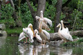 The great white pelican pelecanus onocrotalus also known as eastern rosy or photo from zoo Stock Images