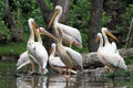 The great white pelican pelecanus onocrotalus also known as eastern rosy or photo from zoo Royalty Free Stock Photos