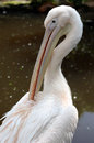 Great white pelican pelecanus onocrotalus cleaning its feathers Royalty Free Stock Images