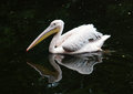 Great white pelican pelecanus onocrotalus floating on the water Royalty Free Stock Images