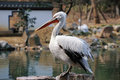 Great white pelican a pelicans on the shore Stock Photos