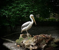 Great white pelican standing on a tree trunk pelecanus onocrotalus Royalty Free Stock Image
