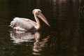 Great white pelican swimming in a lake in ethiopia Stock Images