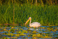 Great white pelican on water in danube delta Stock Photography