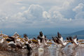 Great white pelicans Royalty Free Stock Photo