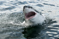 Great white shark breaching showing open jaws and teeth Stock Photos