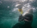 Great white shark eats fish next to divers cage teeth crunch as carcharodon carcharias while closely examining underwater holding Stock Photography