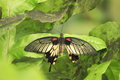 Great yellow mormon butterfly on the green leaf Stock Image