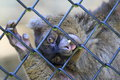 Greater bamboo lemur the behind the fence Stock Image