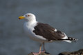 Greater Black-backed Gull Royalty Free Stock Photography