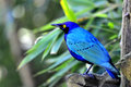 Greater Blue-eared Glossy-starling Royalty Free Stock Photo