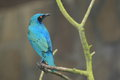 Greater blue eared starling the sitting on the branch Royalty Free Stock Photo