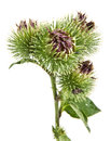 Greater burdock inflorescence of on white background Stock Photography
