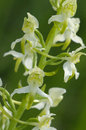 Greater butterfly orchid flowering summer Royalty Free Stock Image