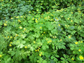 Greater celandine chelidonium majus in natural habitat outdoors photography of green bushes with flowers Royalty Free Stock Images