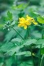 Greater celandine (Chelidonium majus, tetterwort, nipplewort or swallowwort) Royalty Free Stock Photo