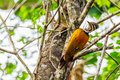 Greater Flame Back Female Woodpecker In Nature