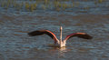 Greater flamingo bathing a phoenicopterus roseus bathes in the shallow waters of the aiguamolls del emporda nature park in Stock Photos