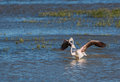 Greater flamingo bathing a phoenicopterus roseus bathes in the shallow waters of the aiguamolls del emporda nature park in Stock Image