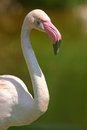 Greater flamingo close up summer Royalty Free Stock Photos