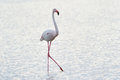 Greater Flamingo Royalty Free Stock Photo