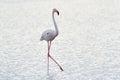 Greater Flamingo Royalty Free Stock Photo