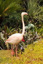Greater Flamingo grooming Stock Photo