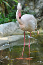 Greater flamingo the is the most widespread species of the family it is found in parts of africa southern asia and Stock Photo