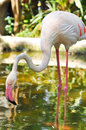 Greater flamingo the is the most widespread species of the family it is found in parts of africa southern asia and Royalty Free Stock Photos