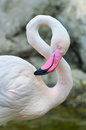 Greater flamingo the is the most widespread species of the family it is found in parts of africa southern asia and Royalty Free Stock Photo