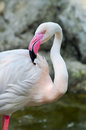 Greater flamingo the is the most widespread species of the family it is found in parts of africa southern asia and Stock Image